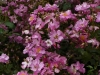 lavender-dream-2