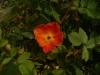 rosa-foetida-var-bicolor