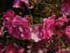rosa-kordesii-2