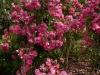 rosa-kordesii