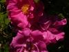 rosa-officinalis-2