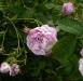 rosaraie-de-lhay-4