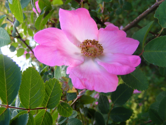 rose spinosissima suzanne