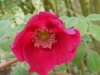rosa-moyesi-geranium-1