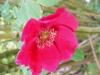 rosa-moyesi-geranium
