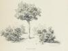 drzewko-rugosy