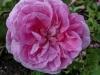 berkenthines-rose2