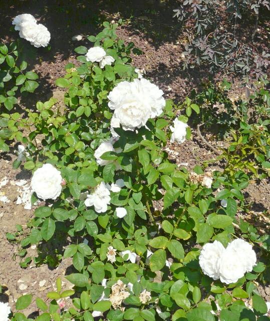 rose glamis castle