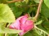 blush-damask