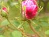centifolia-major-r-1596-jpg-1
