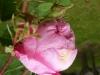 centifolia-major-r-1596