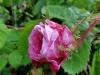 centifolia-muscosa-tr