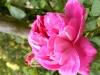 centifolia-nn