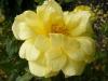 herrison-yellow-3