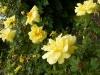 herrison-yellow-5