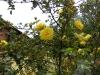herrison-yellow