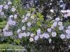 rosa-multiflora-platyphylla5.jpg