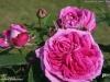 reine-de-violette