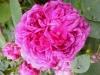 reine-des-violettes-ii-c