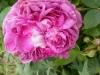 reine-des-violettes-ii