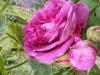 reine-des-violettes-iib