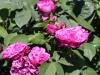 reine-des-violettes3