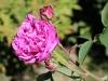 reine-des-violettes4