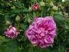 reine-des-violettes-montisfont
