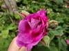 reine-dse-violettes-montisfont2