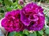 reine-dse-violettes-montisfont3