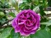 reine-dse-violettes-montisfont4