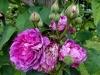 reine-dse-violettes-montisfont5