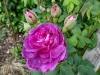 reine-dse-violettes-montisfont6