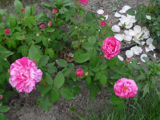 rosa-gallica-versicolor-2-msoltys.jpg