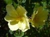 harrisons-yellow