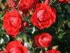 black-forrest-rose