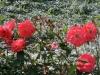 vivarose