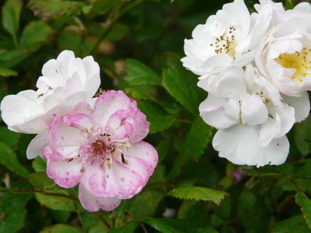 rose dentelle de bruxelles