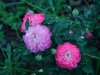 burgundian-rose-pompon-de-bu