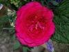 johan-wolfgang-von-gothe-rose